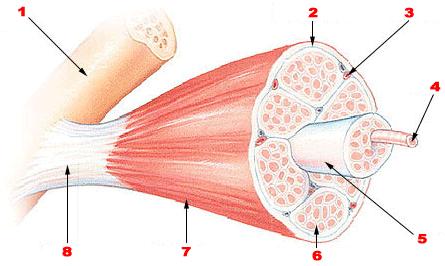 Illustrasjon av muskel med muskelfibre