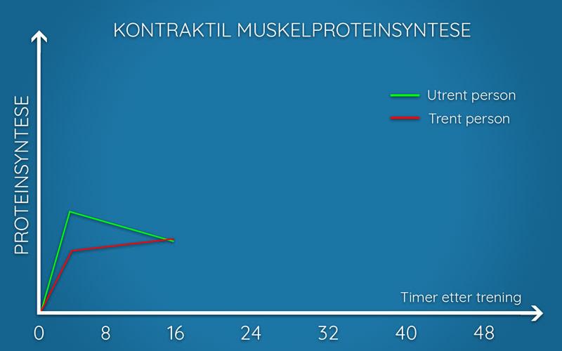 Illustrasjon av kontraktil muskelproteinsyntese hos trente og utrente personer